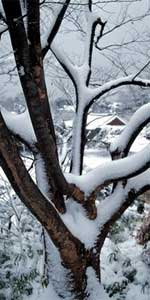 Snow Accumulating on Trees