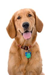 bigstock-Six-Month-Old-Golden-Retriever-22880291