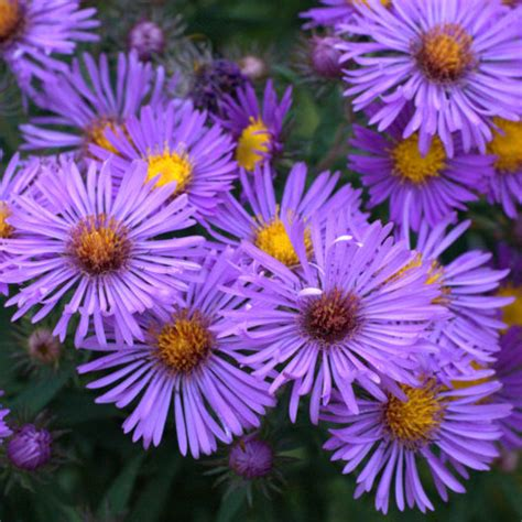 new england aster Opens in new window
